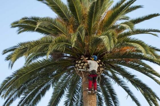 How to cut palm tree branches