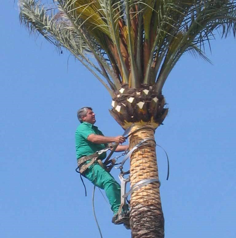 How to prune queen palms