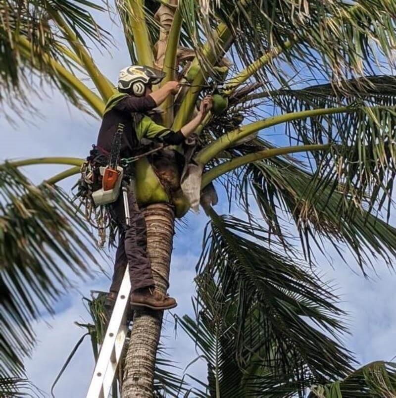 Palm tree cutting