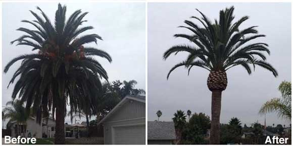 Pruning palm trees tips on cutting back a palm tree